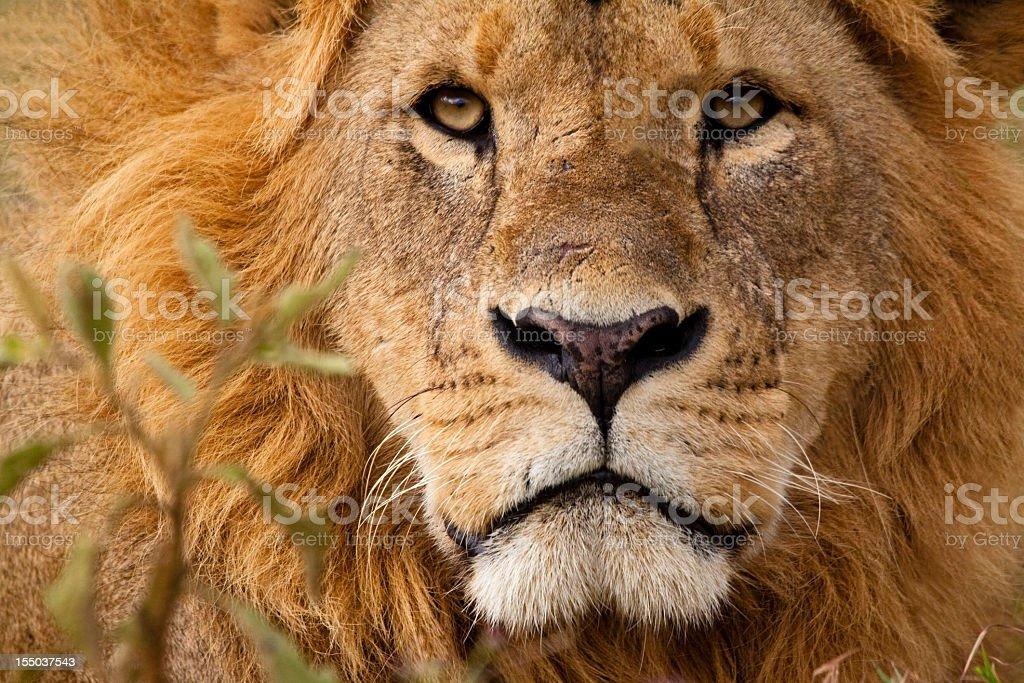 Close-up portrait of a majestic lion's solemn face stock photo
