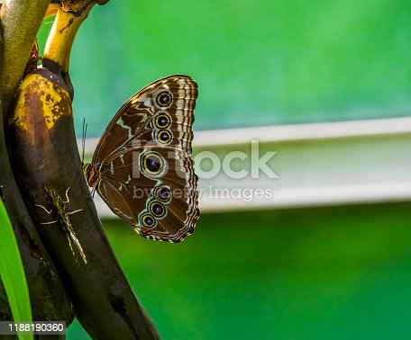 closeup portrait of a peleides blue morpho butterfly, popular tropical insect specie from America