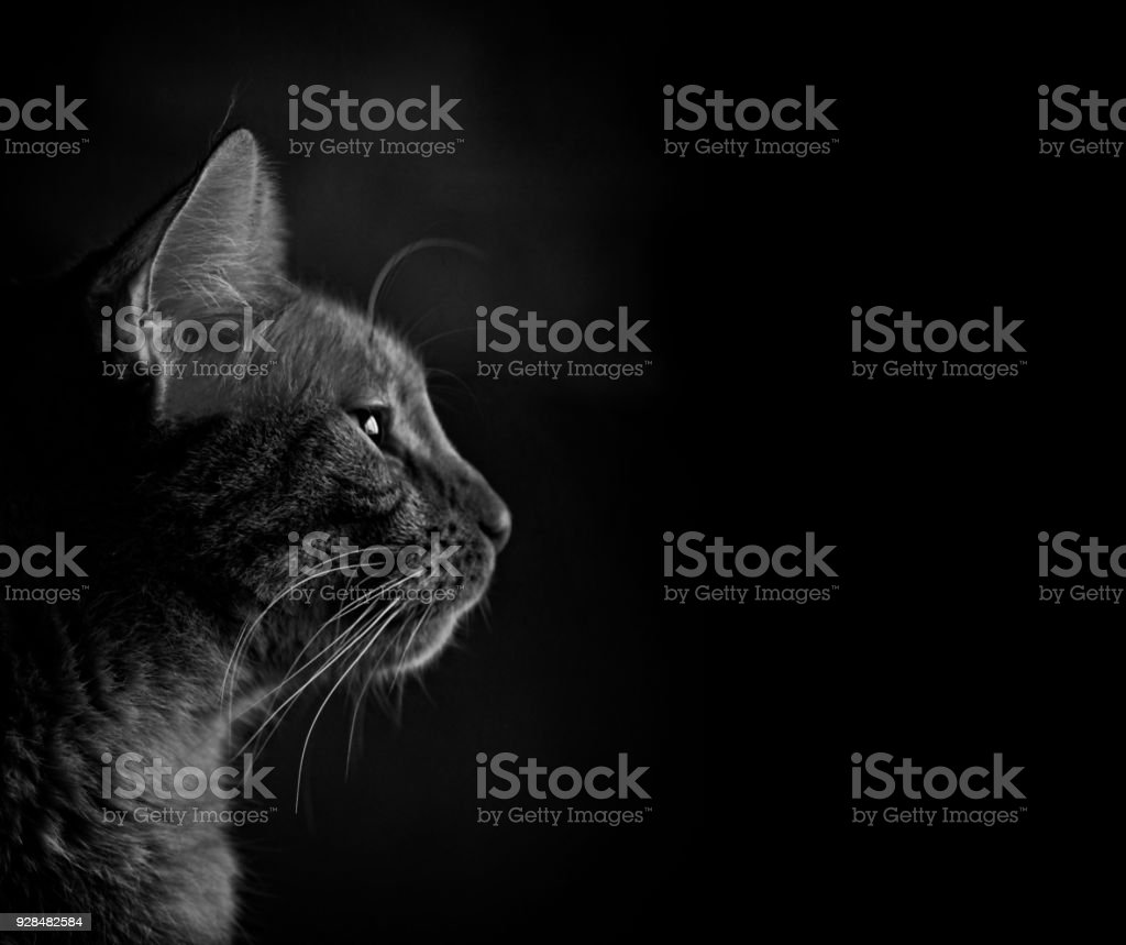 Closeup portrait of a tabby cat looks sideways in black and white. stock photo