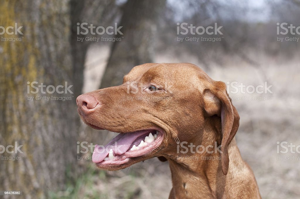 Close-up Portrait of a Vizsla Dog in Spring royalty-free stock photo