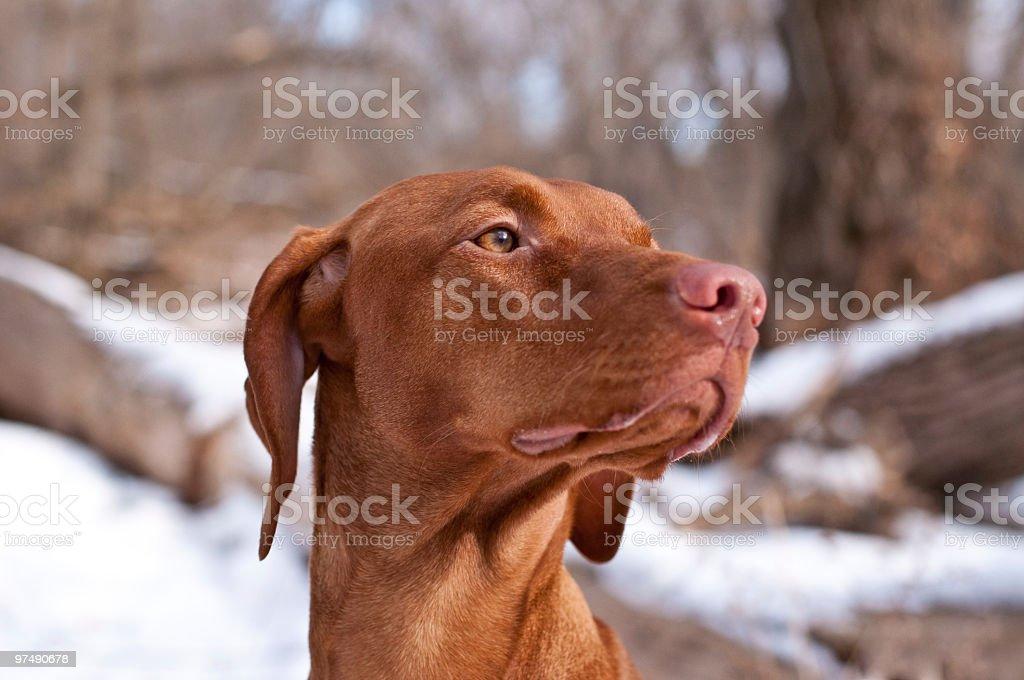 Close-up Portrait of a Vizsla Dog in Winter royalty-free stock photo