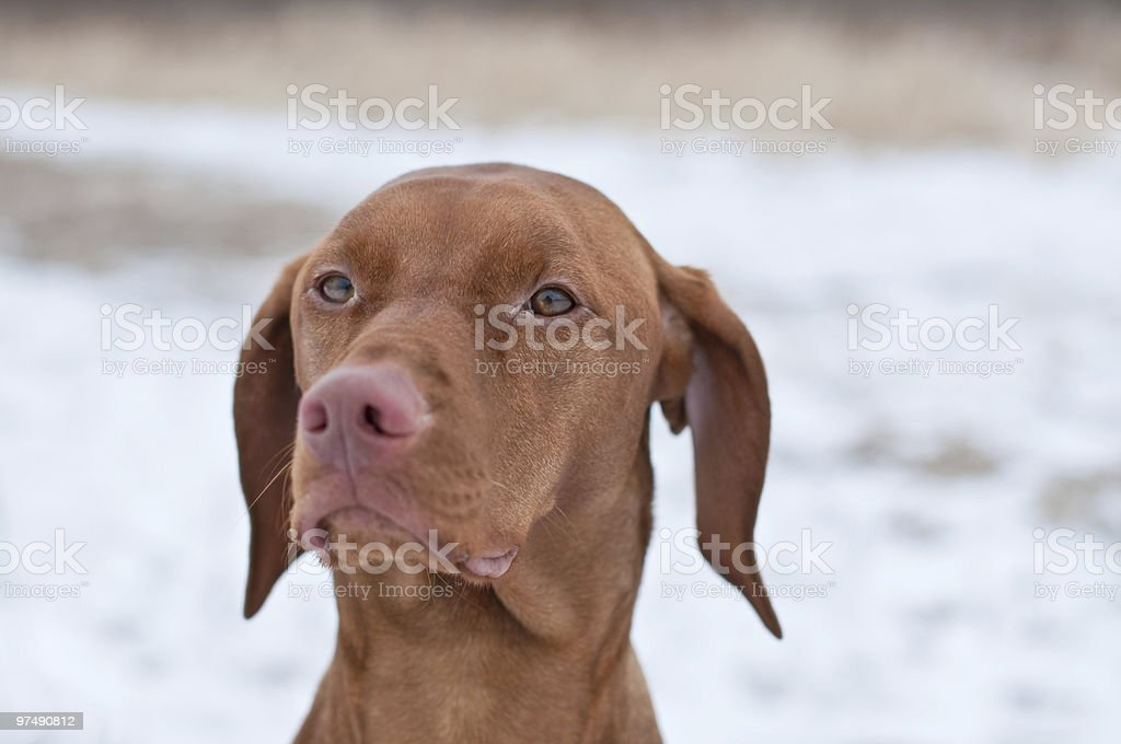 Close-up Portrait of a Vizsla Dog in Winter royalty-free stock photo