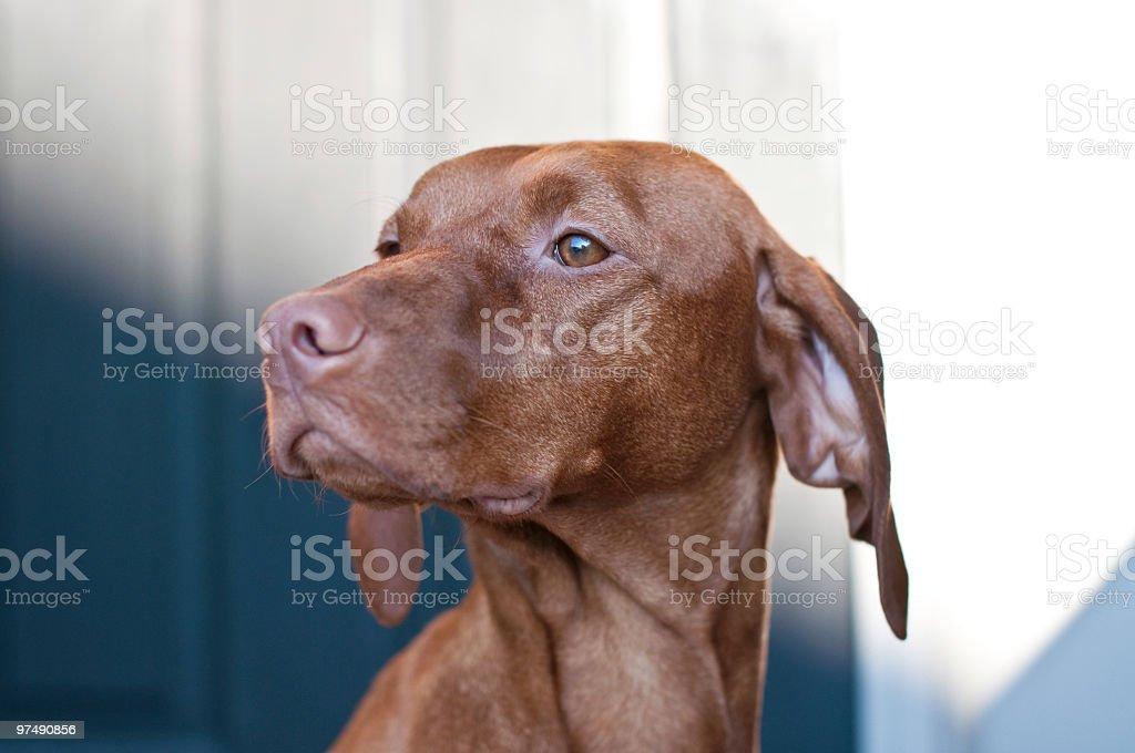 Close-up Portrait of a Vizsla Dog royalty-free stock photo