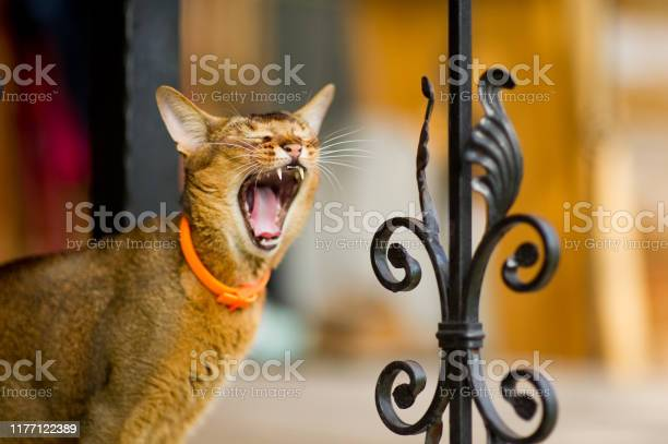 Closeup portrait of a yawning cat standing near a metal fence picture id1177122389?b=1&k=6&m=1177122389&s=612x612&h=sy1z 4nt6g0cd0ck eog3jfcy5dqwmkyll nvh28vkm=