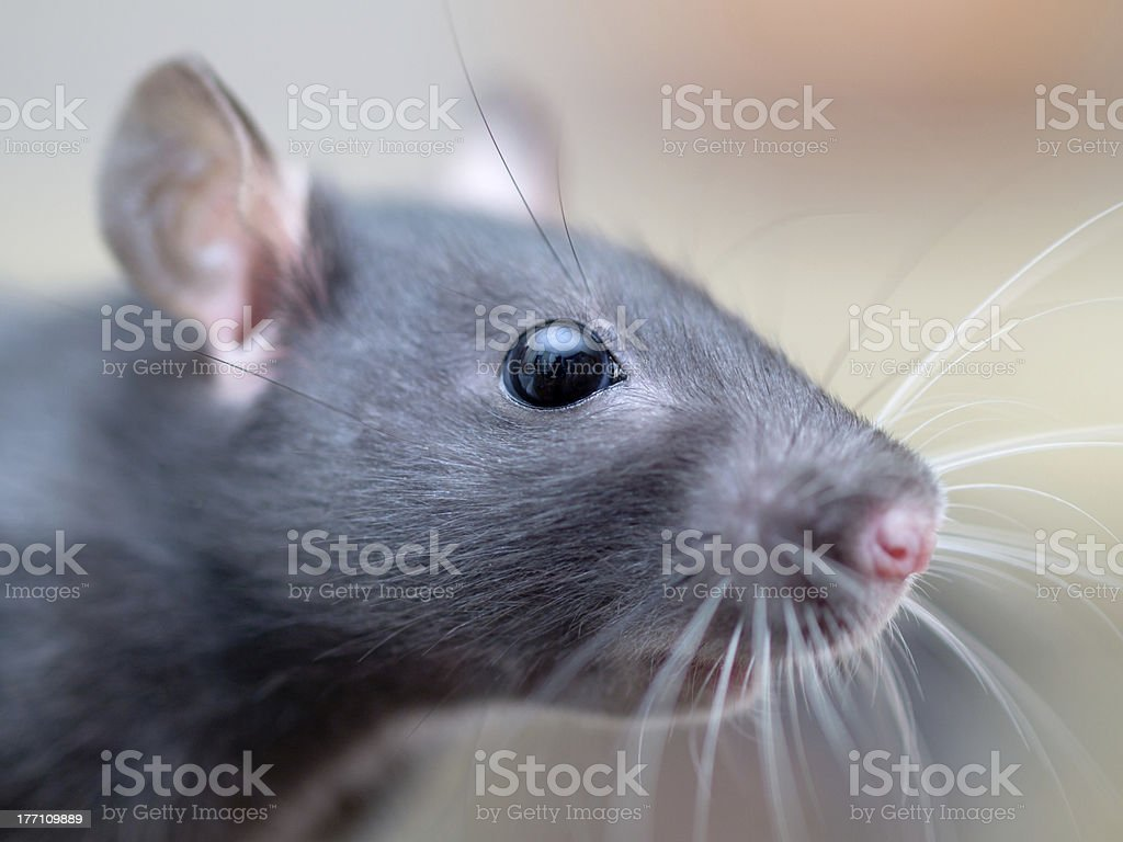 Closeup portrait of a young female rat. stock photo