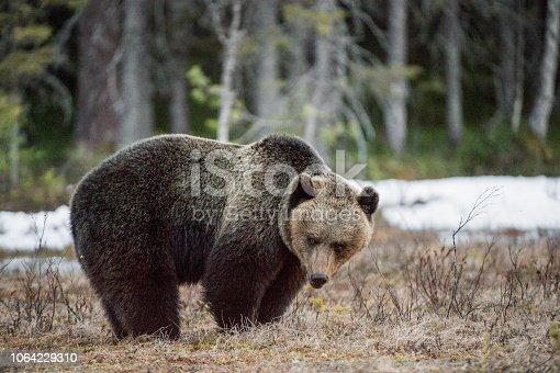 Close-up Portrait of Adult Male of Brown Bear (Ursus arctos) in sunset light. Spring forest.
