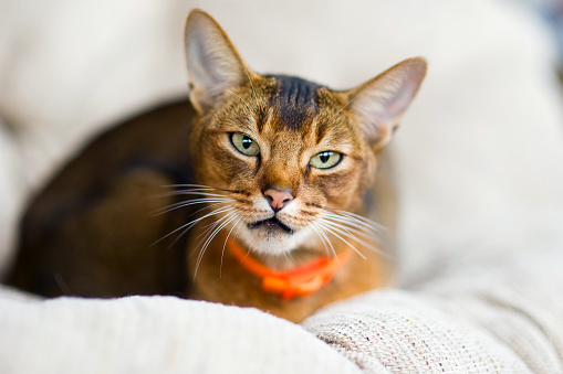 close-up portrait of an abyssinian cat in a calm state