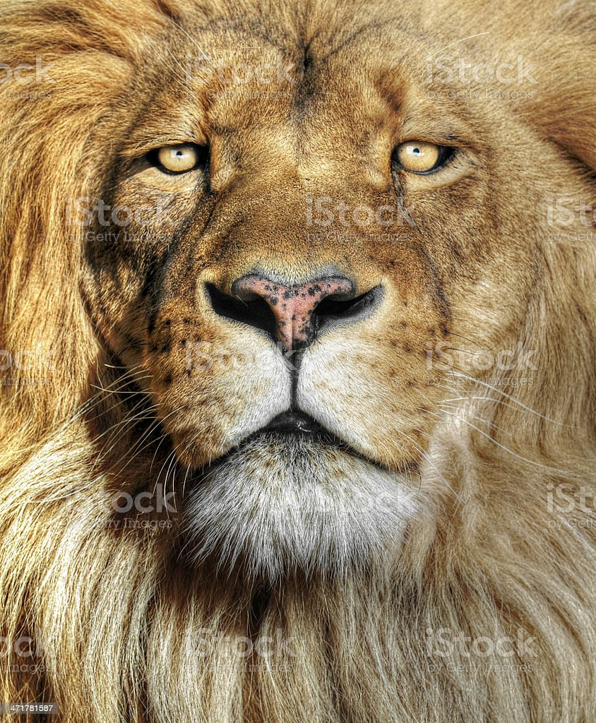 Closeup portrait of an African Lion stock photo