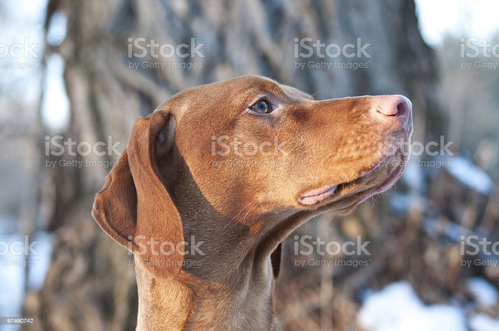 Close-up Portrait of an Alert Vizsla Dog in Winter royalty-free stock photo