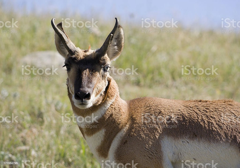 Close-up Portrait of an Antelope royalty-free stock photo