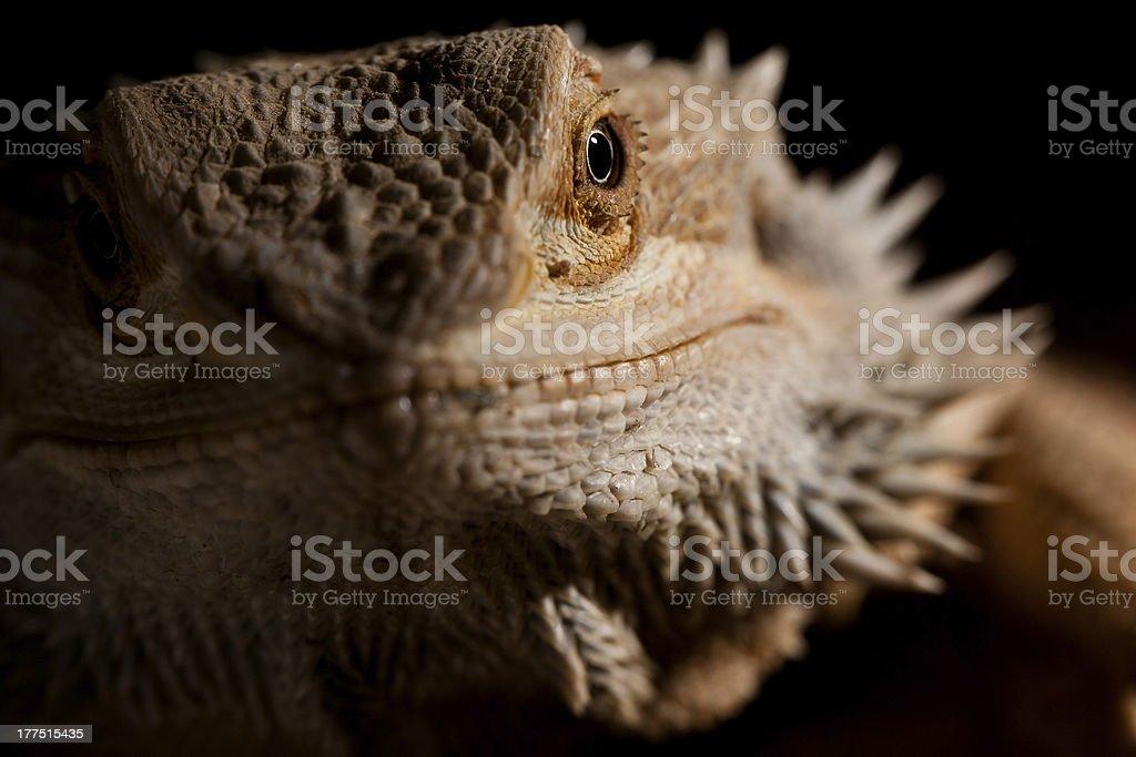 Close-up Portrait von Bartagame – Foto
