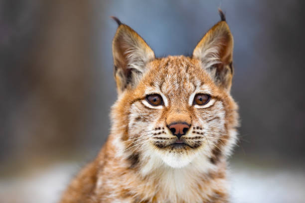 Close-up portrait of beautiful eurasian lynx in the forest stock photo