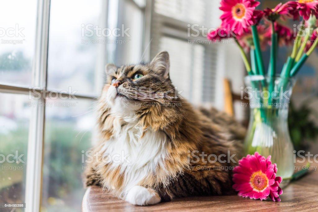 Closeup retrato de chita gato de coon de maine deitado na mesa olhando do lado de fora por flores em vaso foto royalty-free