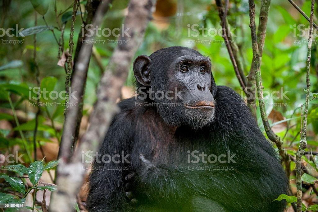 Close-up portrait of chimpanzee stock photo