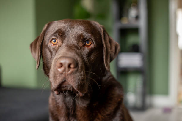 Close-up portrait of chocolate labrador 1 year old sitting in living room stock photo