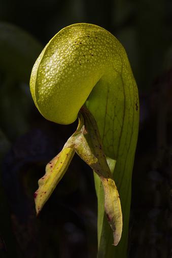Closeup portrait of cobra lily, carnivorous pitcher plant, against dark background