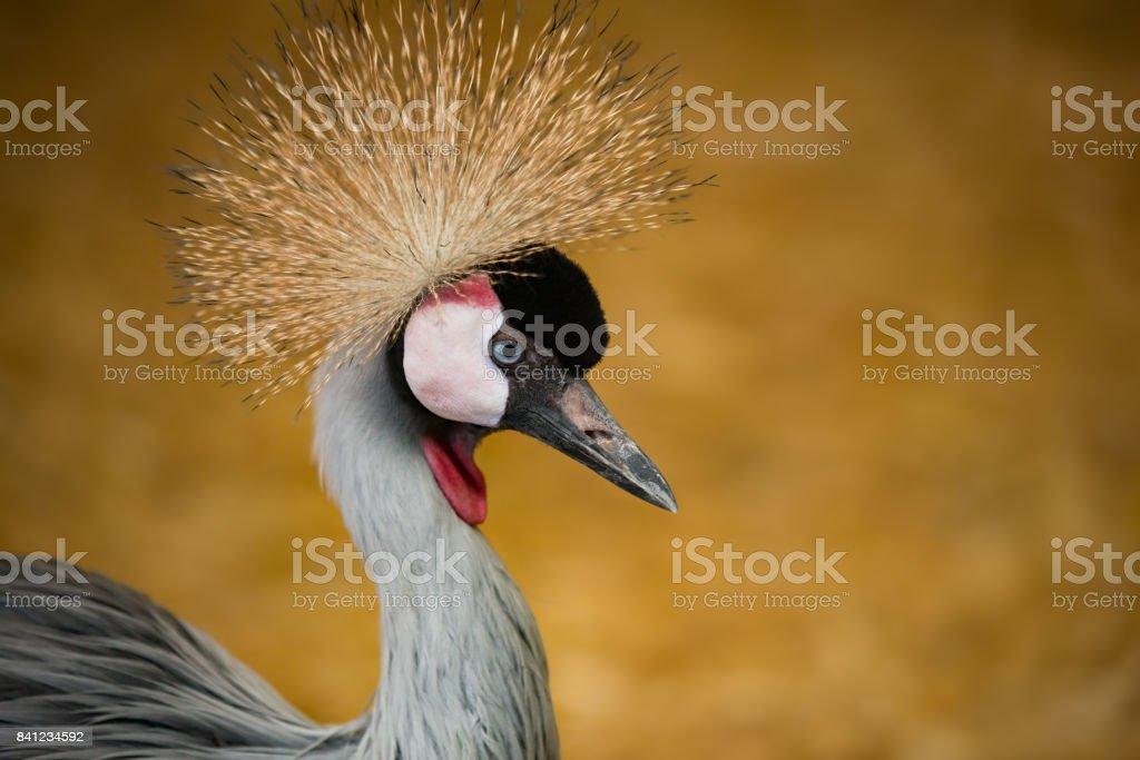 Closeup portrait of Crowned Crane stock photo