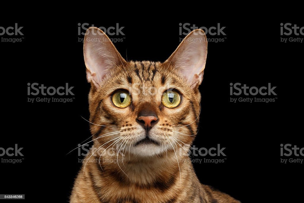 Close-up Portrait of Curious Face Bengal Cat, Isolated Black - foto de acervo