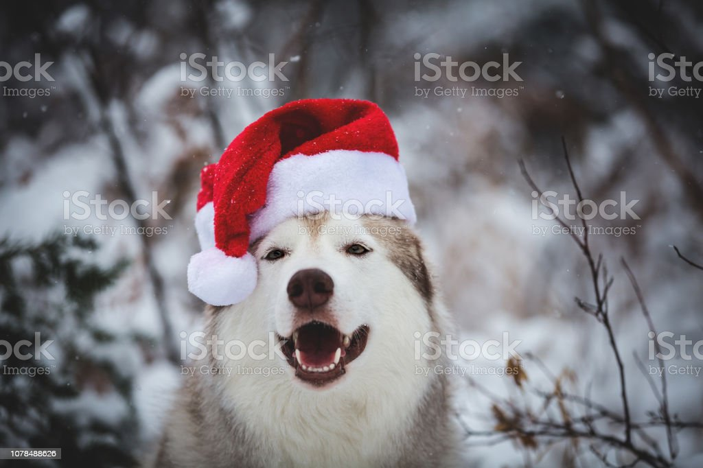 Close-up Portrait of cute happy Siberian Husky dog wearing santa claus hat in the winter forest on snow background stock photo