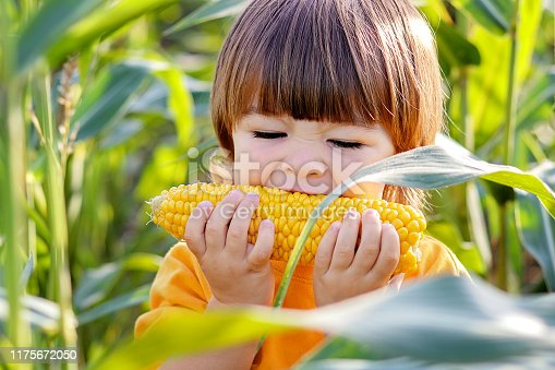 Close-up portrait of cute little child eating boiled yellow sweet corncob in green corn field outdoors. Autumn lifestyle. Homegrown organic food. Vegan children nutrition