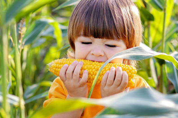 Close-up portrait of cute little child eating boiled yellow sweet corncob in green corn field outdoors. Autumn lifestyle. Homegrown organic food. Vegan children nutrition Close-up portrait of cute little child eating boiled yellow sweet corncob in green corn field outdoors. Autumn lifestyle. Homegrown organic food. Vegan children nutrition sweetcorn stock pictures, royalty-free photos & images