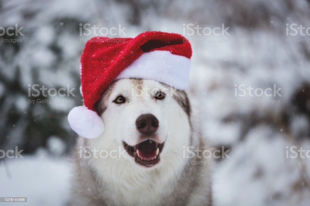Close-up Portrait of cute Siberian Husky dog wearing santa claus hat in the winter forest on snow background stock photo