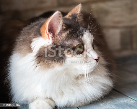 Close-up portrait of fluffy tricolor koshl lying on a wooden blue table
