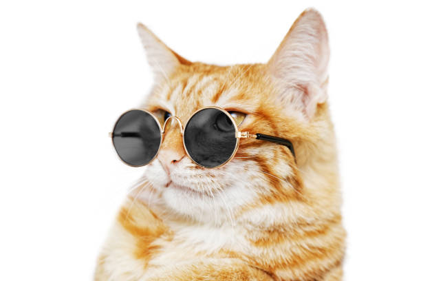 Closeup portrait of funny ginger cat wearing sunglasses picture id950393460?b=1&k=6&m=950393460&s=612x612&w=0&h= 52vaf516gs3aaes uugzcruu cog3khdcwiktmwj0m=