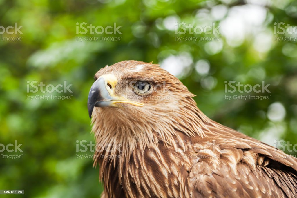 Close-up portrait of golden eagle - foto stock