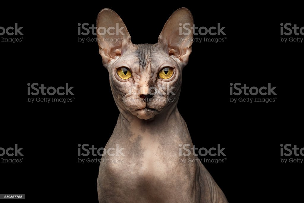 Closeup Portrait of Grumpy Sphynx Cat, Front view, Black Isolated stock photo