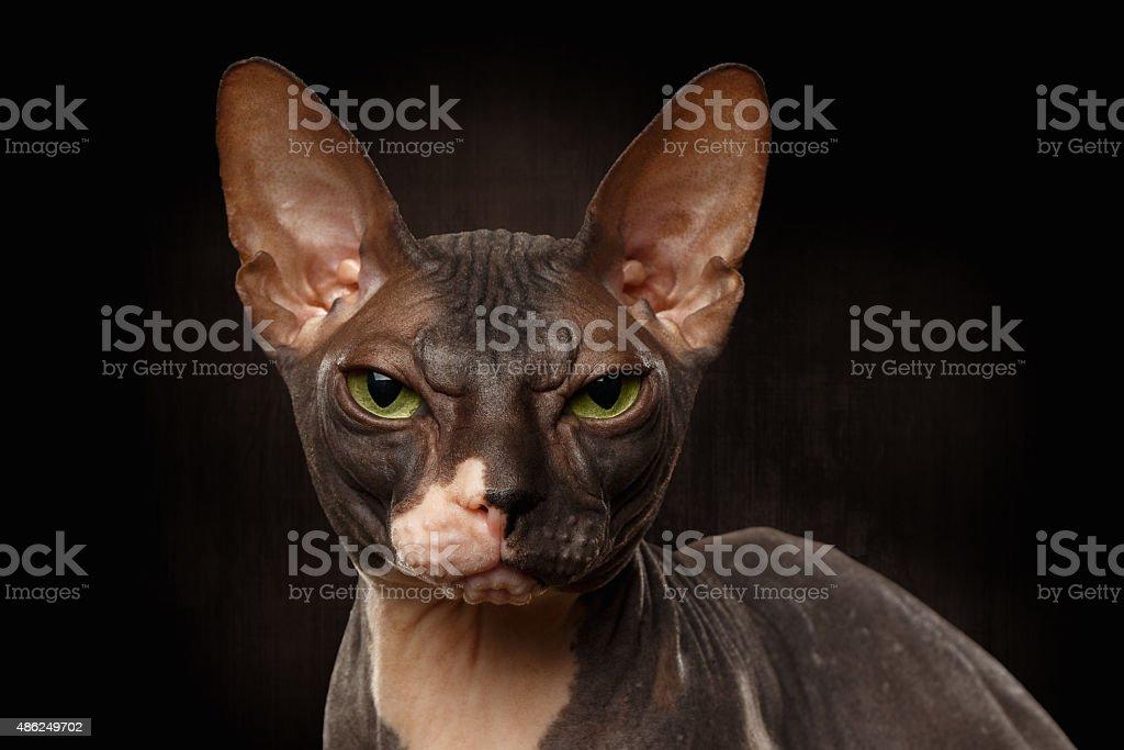 Closeup Portrait of Grumpy Sphynx Cat Front view on Black stock photo