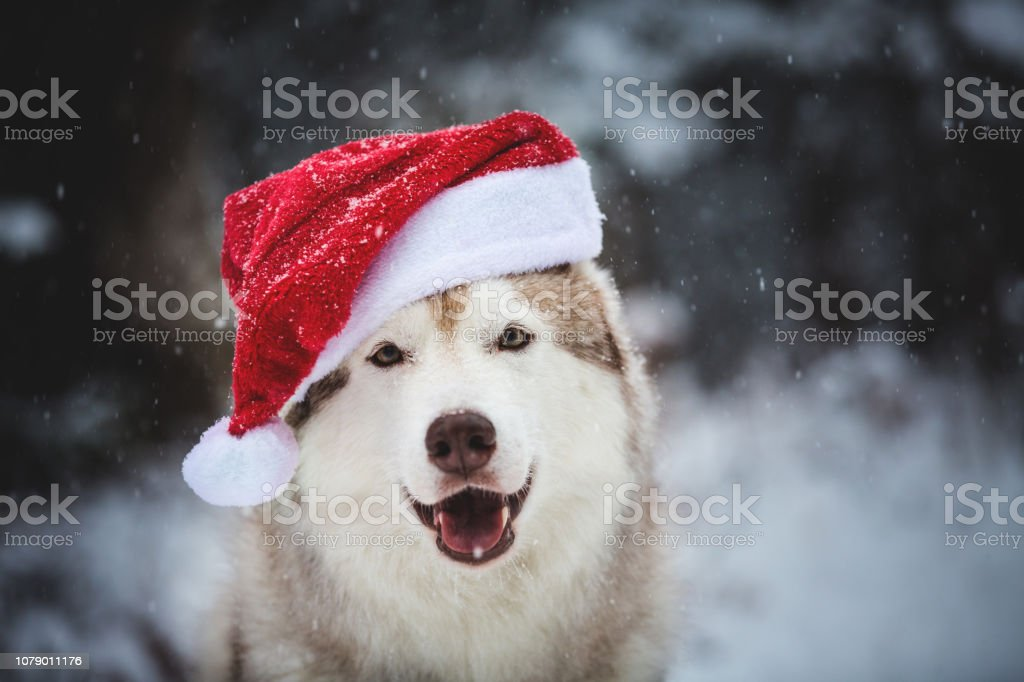 Close-up Portrait of happy and cute Siberian Husky dog wearing santa claus hat in the winter forest on snow background stock photo