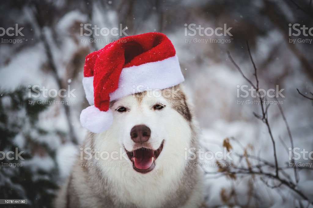 Close-up Portrait of happy Siberian Husky dog wearing santa claus hat in the winter forest on snow background stock photo