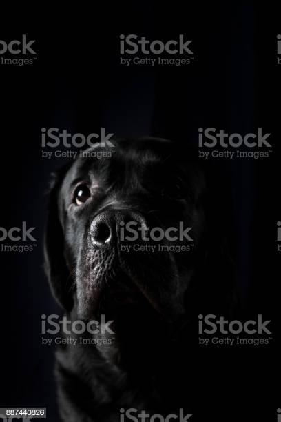 Closeup portrait of labrador dog picture id887440826?b=1&k=6&m=887440826&s=612x612&h=oeftlizft6bsjgb1229xua4uzhx26vsulfjcquqphe0=
