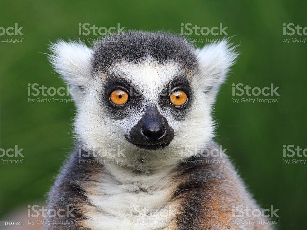 Close-up portrait of lemur catta (ring tailed lemur), Prague Zoo stock photo