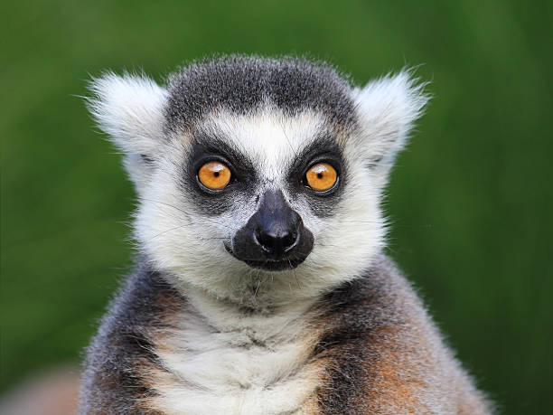 close-up portrait of lemur catta (ring tailed lemur), prague zoo - lemur bildbanksfoton och bilder