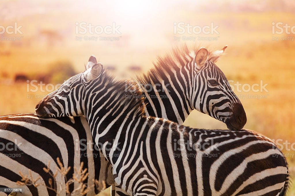 Close-up portrait of mother zebra with its foal stock photo