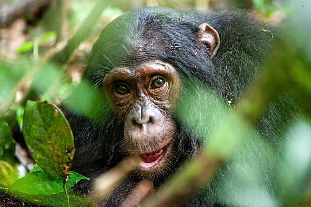 Close-up portrait of old chimpanzee stock photo