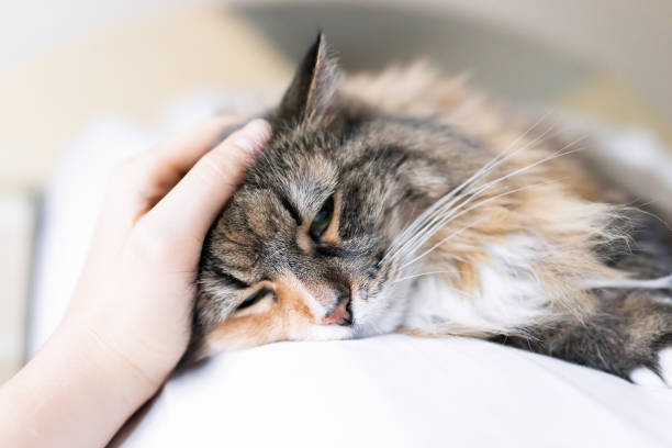 Closeup portrait of one sad calico maine coon cat face lying on bed in bedroom room, looking down, bored, depression, woman hand petting head stock photo