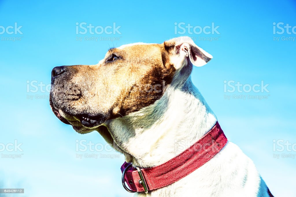 Close-Up Portrait of Pit Bull Terrier At Park stock photo