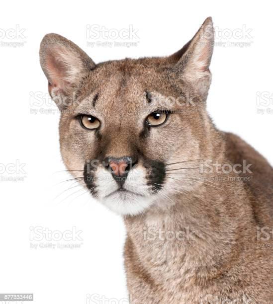 Closeup portrait of puma cub puma concolor 1 year old in front of picture id877333446?b=1&k=6&m=877333446&s=612x612&h=yo67ilpqzuxefvxt2fn 1jqvmq8dvzdbgsdgvbh6fj8=