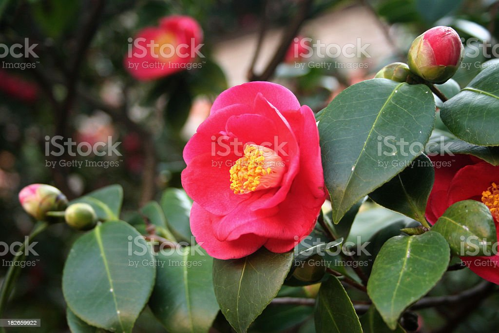 Closeup portrait of red camellias with green leaves stock photo