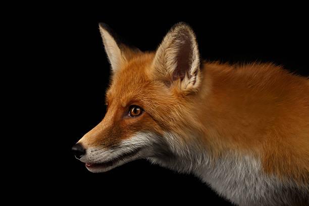 Em detalhe Retrato de Vermelho Fox em perfil isolado no preto - foto de acervo