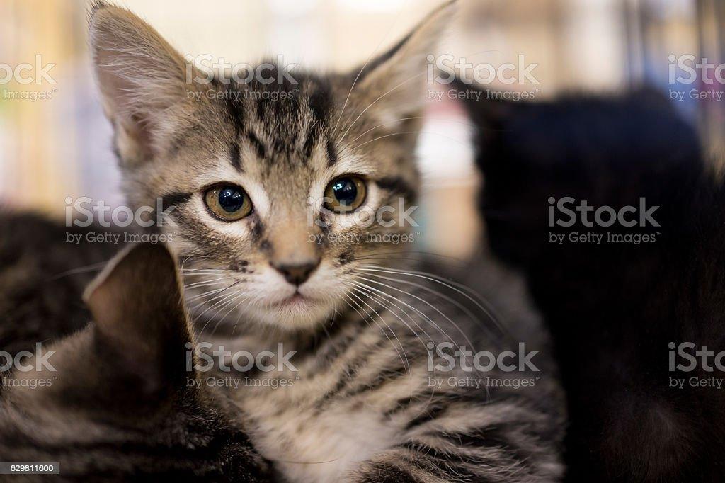 Closeup portrait of small tabby kitten looking forward cuddling - foto de acervo