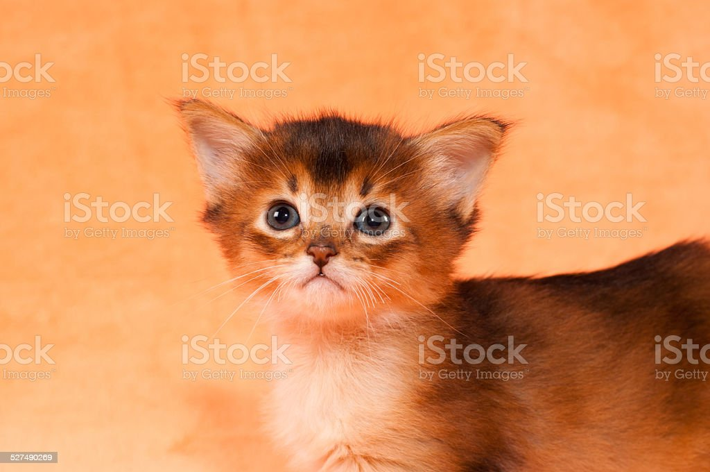 Gros plan portrait de chaton de Somalie - Photo