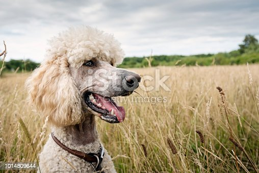 Close-up of female standard Poodle sitting in a filed whilst out for a country walk. Colour, horizontal with some copy space.