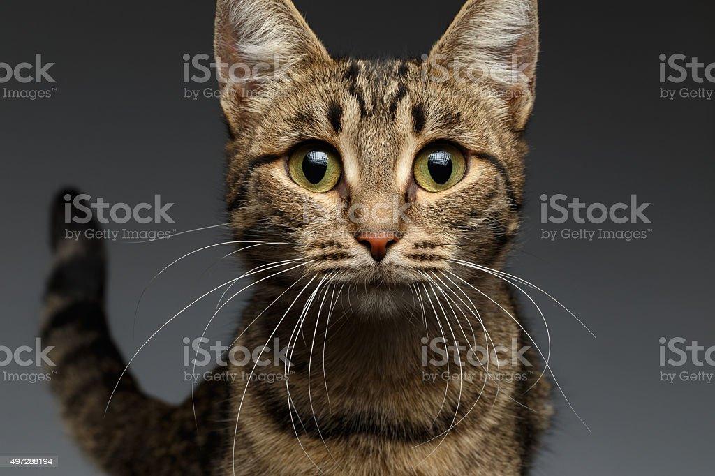 Closeup portrait of Surprised Cat on Black Background