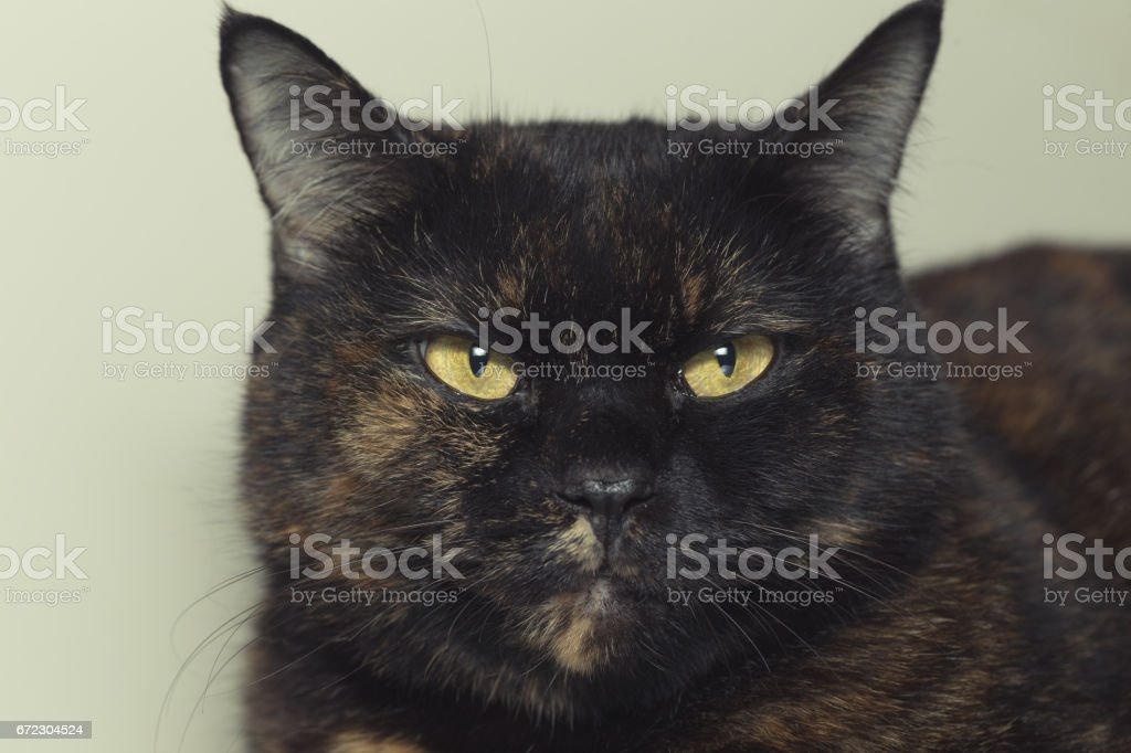 Closeup Portrait Of Thai Cat With Yellow Eyes Stock Photo IStock - 24 detailed close ups of animal eyes