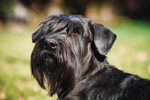 close-up portrait of the dog. giant schnauzer. service dog. - riesenschnauzer stock-fotos und bilder