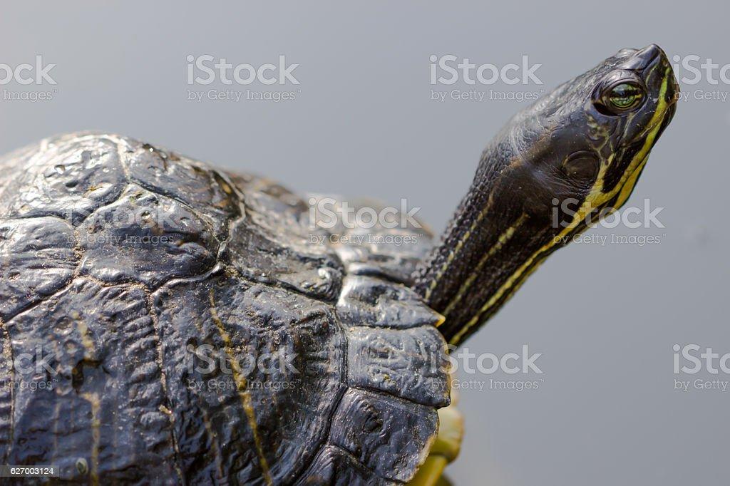 closeup portrait of tortoise on a dark background stock photo